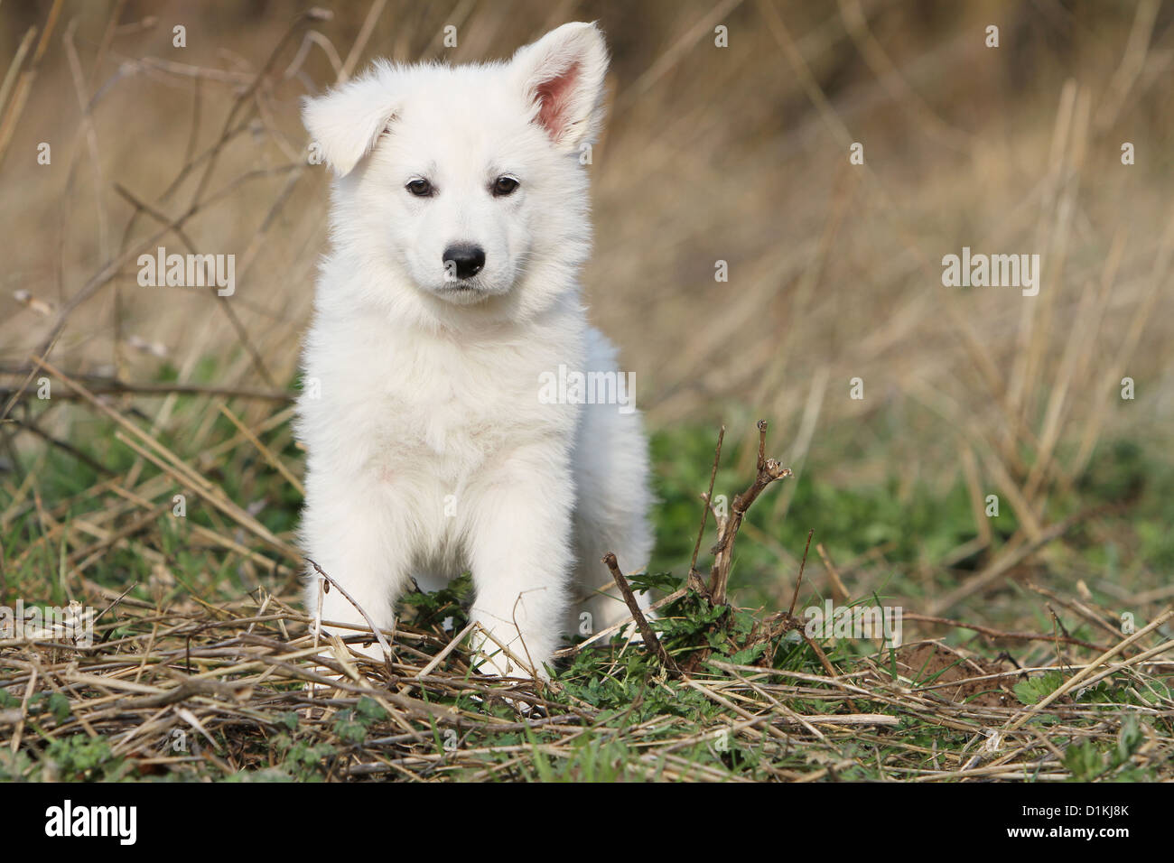 White Swiss Shepherd Dog Berger Blanc Suisse Puppy Standing Face