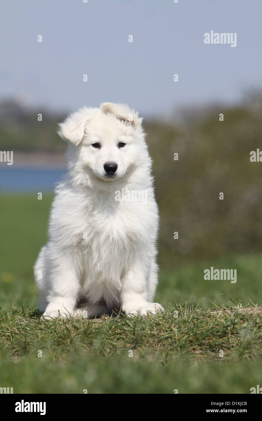 White Swiss Shepherd Dog Berger Blanc Suisse Puppy Sitting On