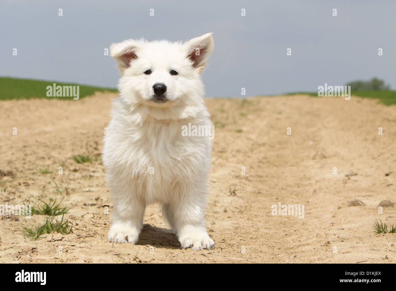 White Swiss Shepherd Dog Berger Blanc Suisse Puppy Standing Stock