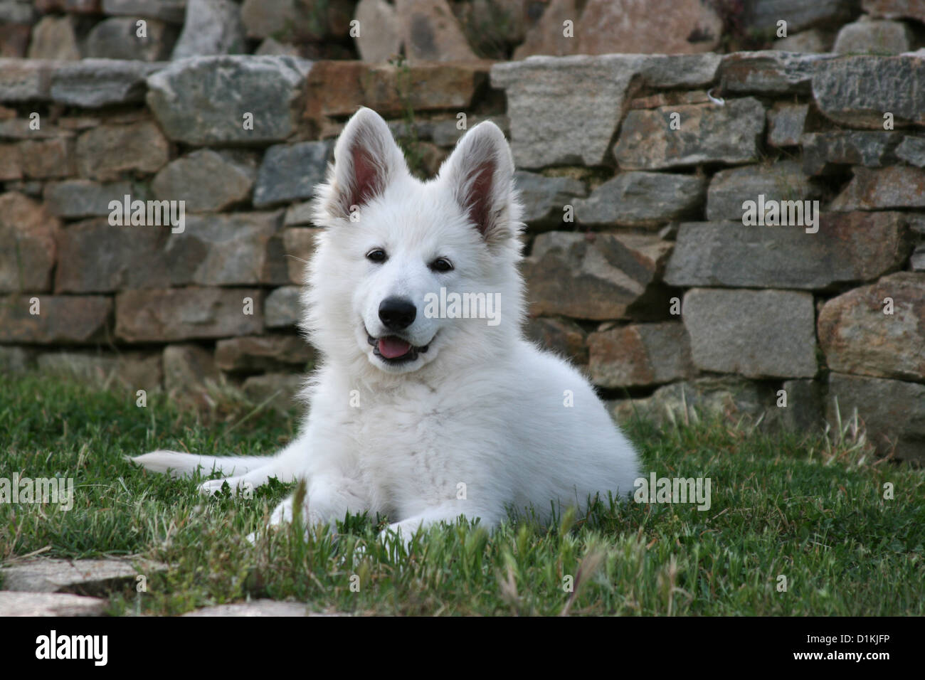 White Swiss Shepherd Dog Berger Blanc Suisse Puppy Lying On Grass