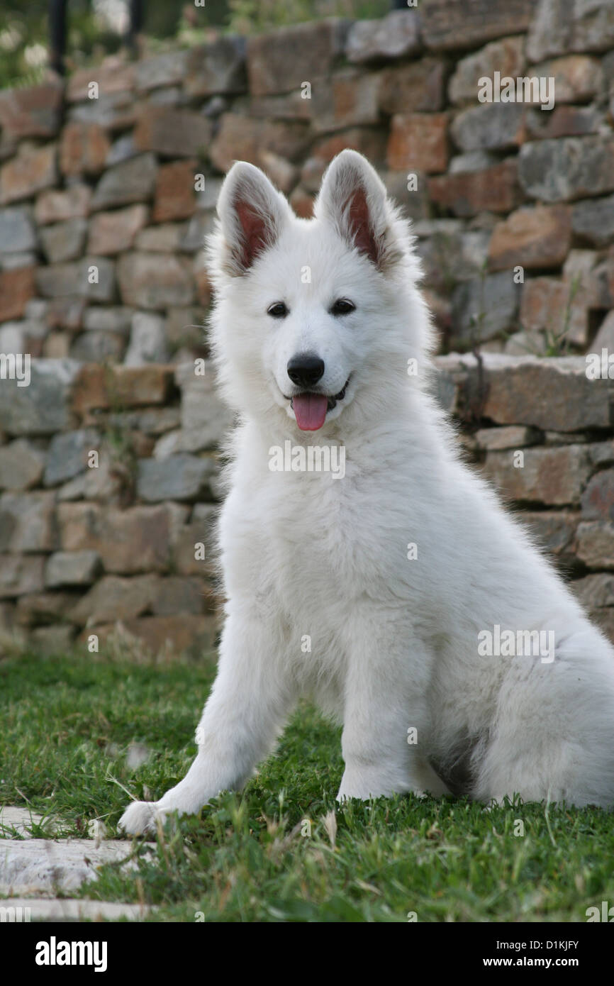White Swiss Shepherd Dog Berger Blanc Suisse Puppy Sitting Stock