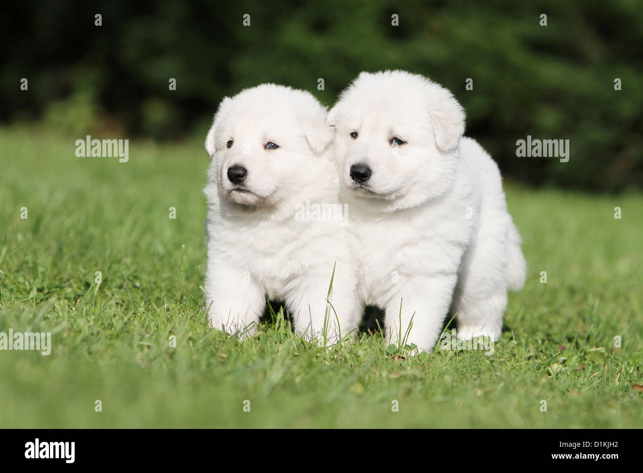 White Swiss Shepherd Dog Berger Blanc Suisse Two Puppies Together