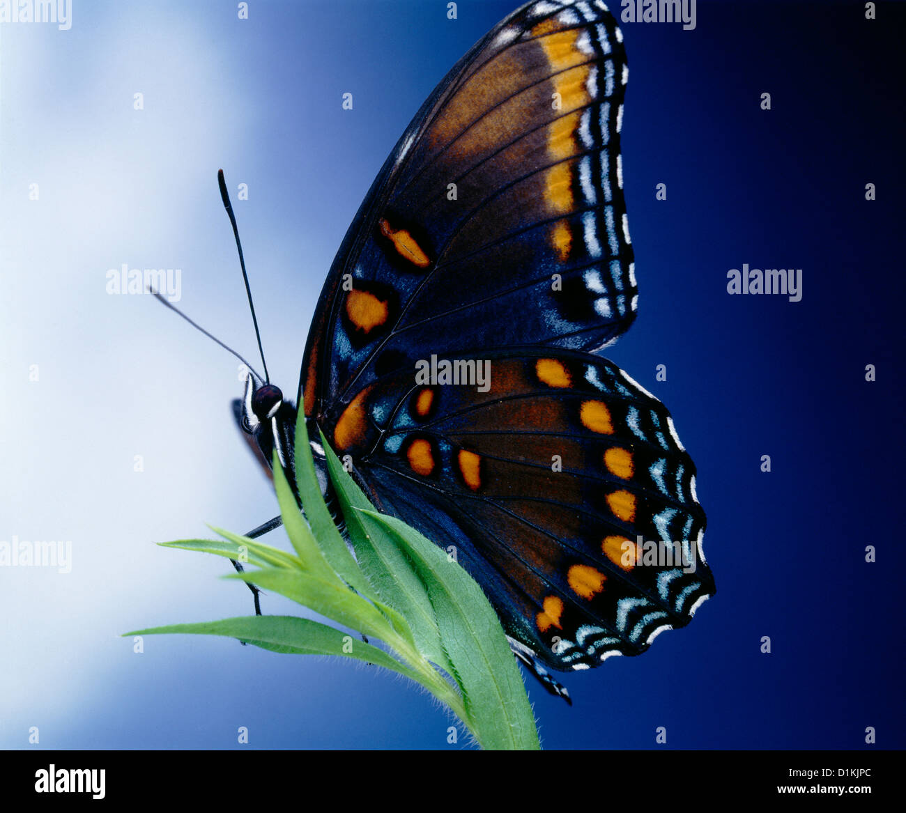 RED-SPOTTED PURPLE BUTTERFLY (LIMENITIS ARTHEMIS ASTYANOX) COLORFUL, BEAUTIFUL ADULT ON PLANT - Stock Image