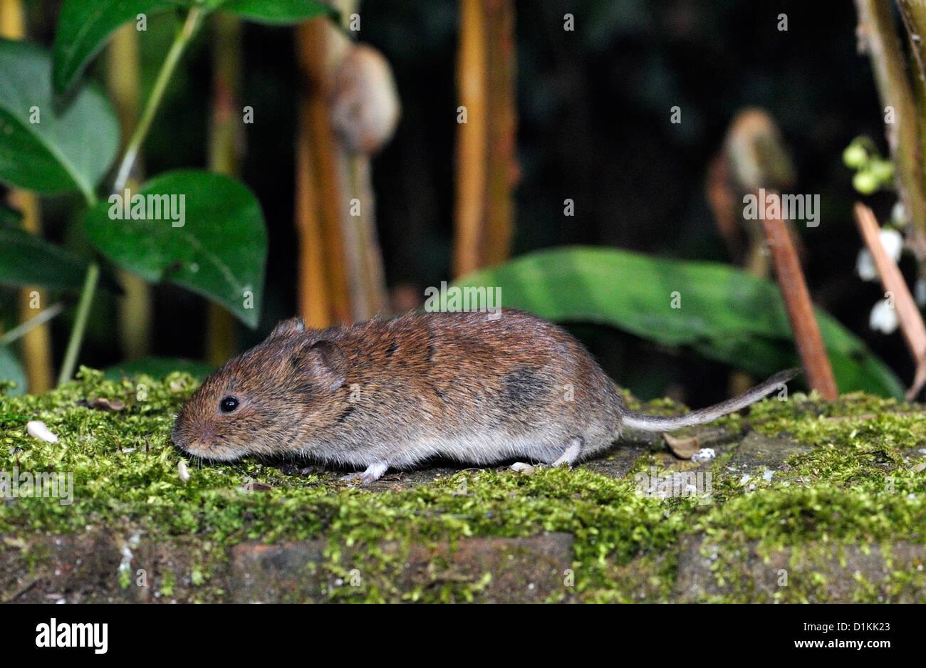 Bank Vole. (Myodes glareolus). Bedgebury Forest, Kent. - Stock Image