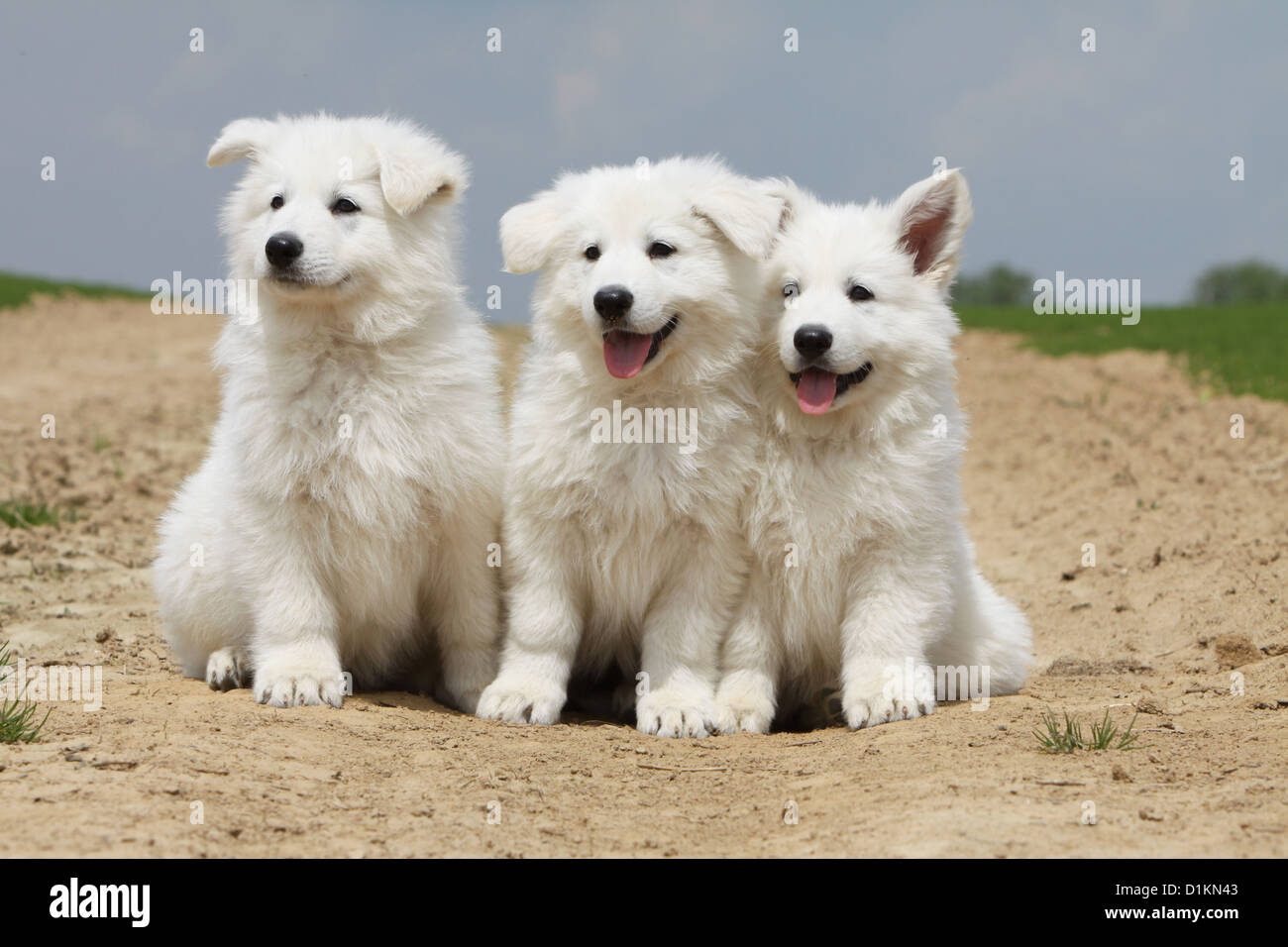 White Swiss Shepherd Dog Berger Blanc Suisse Puppies Puppy Stock