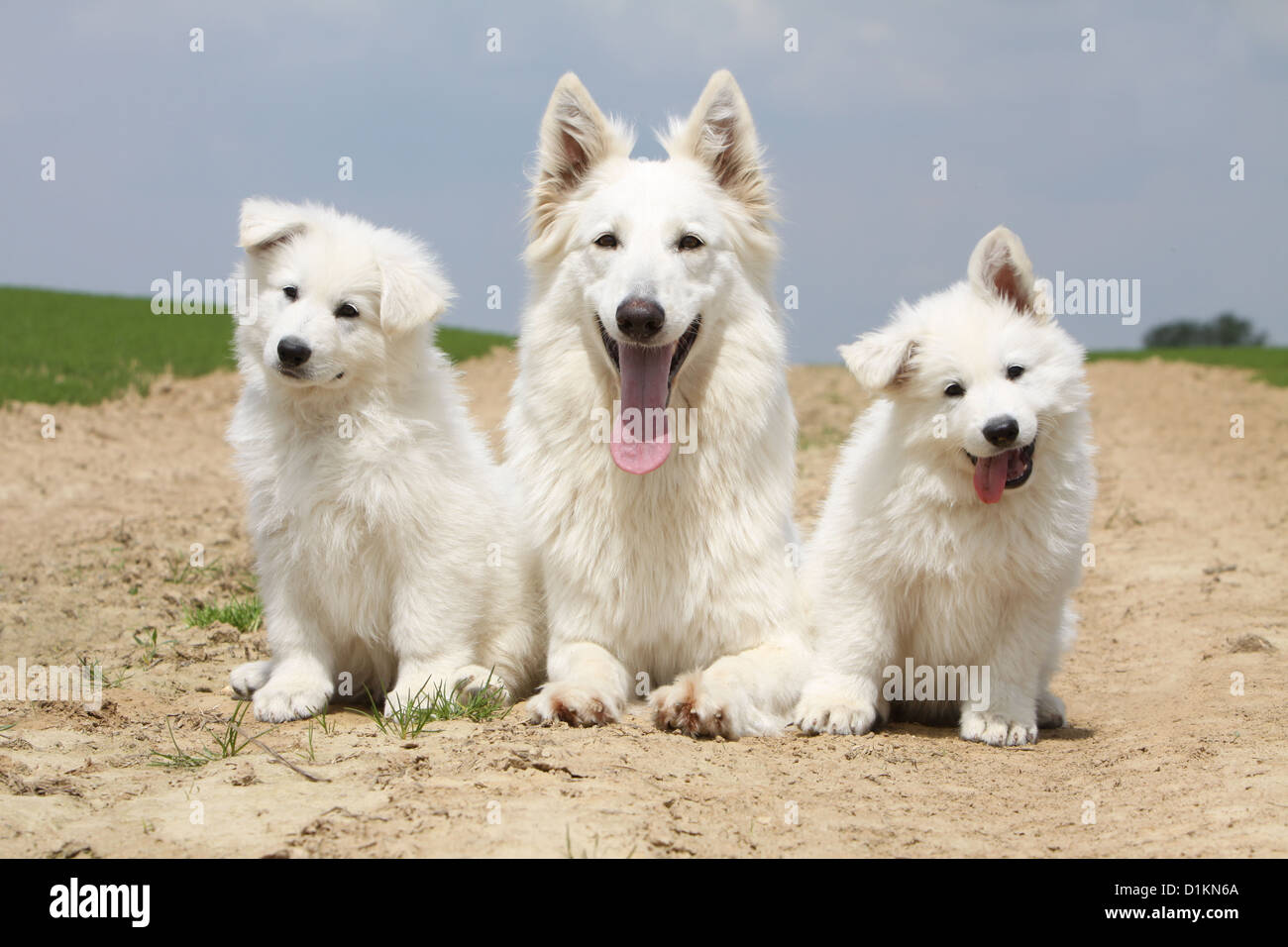 White Swiss Shepherd Dog Berger Blanc Suisse Adult And Two Puppies