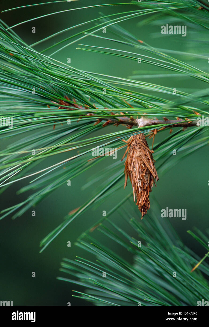 BAG OF THE EVERGREEN BAGWORM (THYRIDOPTERYX EPHEMERAEFORMIS) PEST OF ORNAMENTAL TREES AND SHRUBS LITITZ, PA Stock Photo