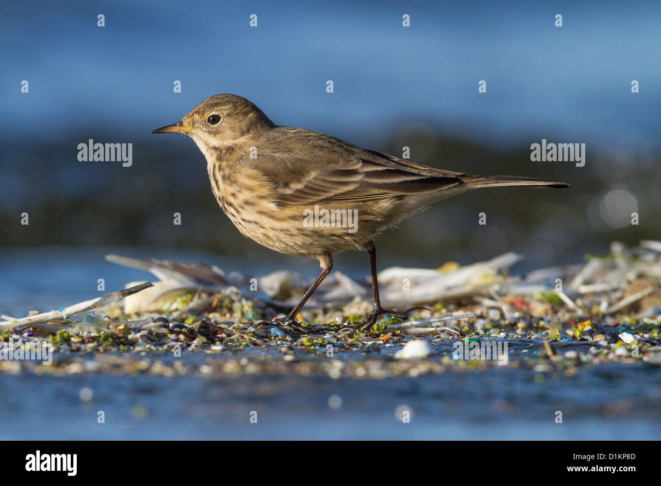 American Buff-bellied Pipit (Anthus rubescens), Queen Mother Reservoir, Berkshire, England - Stock Image