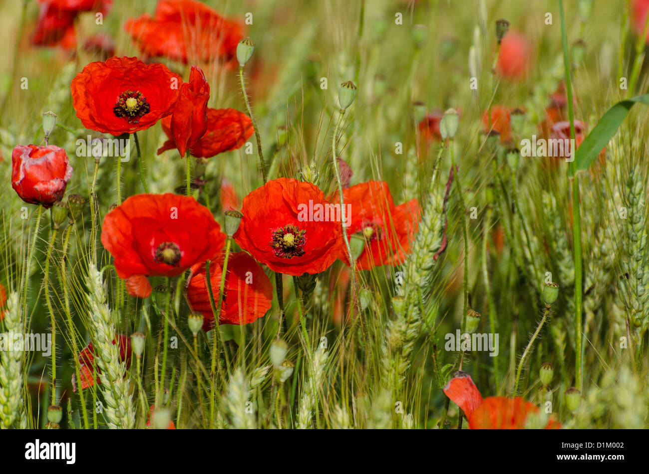 Poppies field - Stock Image