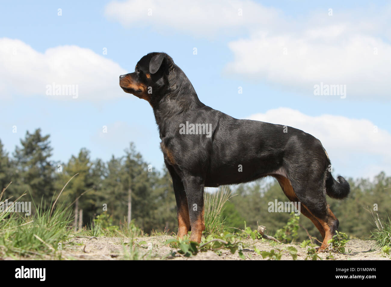 Dog Rottweiler Adult Standard Profile Stock Photo 52685521 Alamy