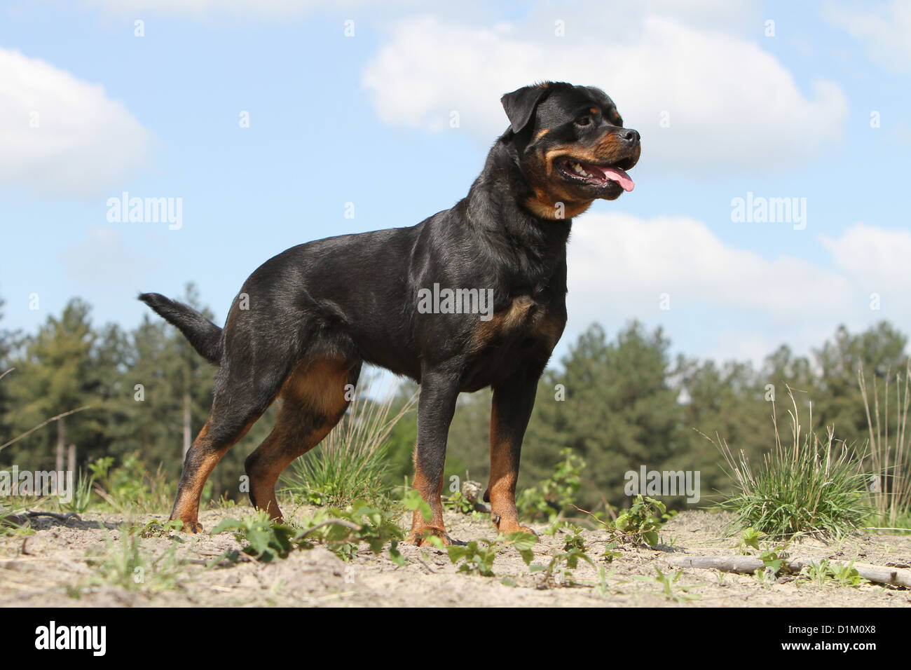 Dog Rottweiler Adult Standard Profile Stock Photo 52685536 Alamy