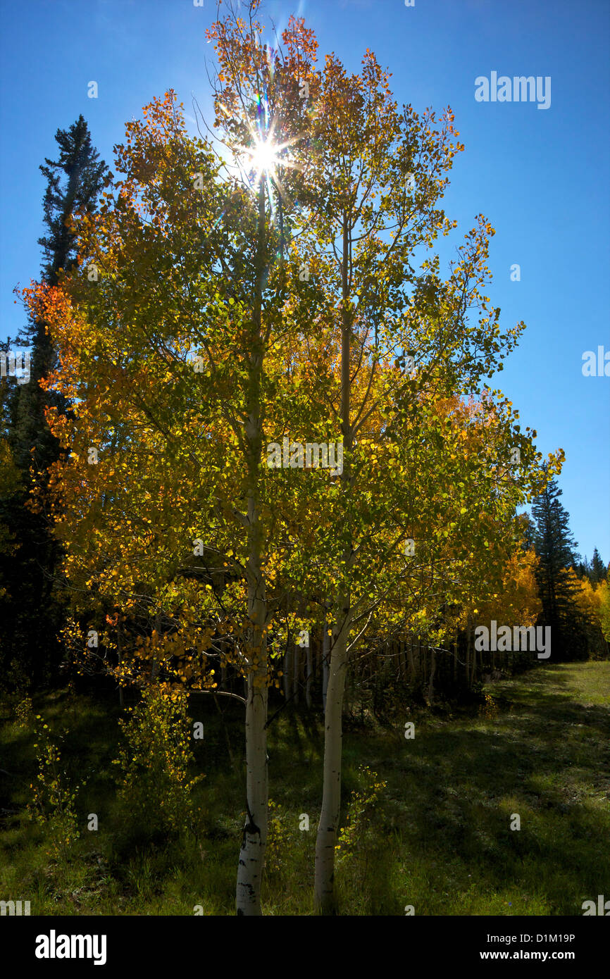 Aspen trees in fall, Kaibab National Forest, Grand Canyon National Park, Arizona, USA - Stock Image