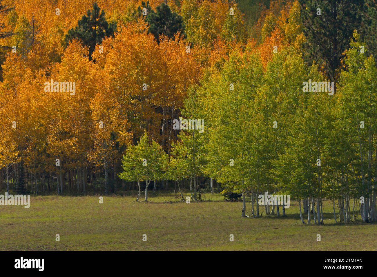 Aspen trees and Lodgepole Pines in fall, Kaibab National Forest, Grand Canyon National Park, Arizona, USA - Stock Image