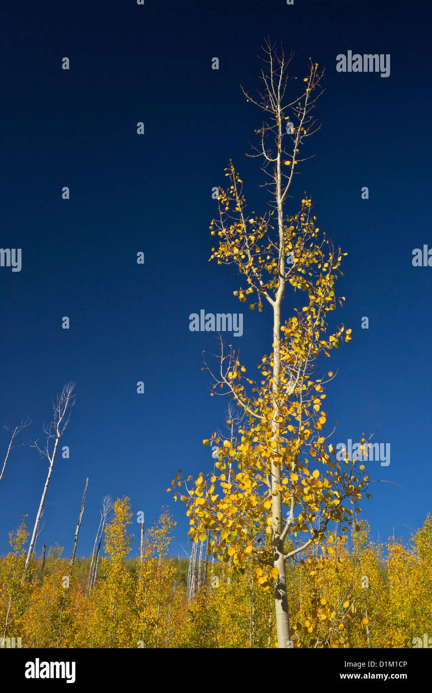 Aspen trees in fall, Kaibab National Forest, Grand Canyon National Park, Arizona, USA Stock Photo