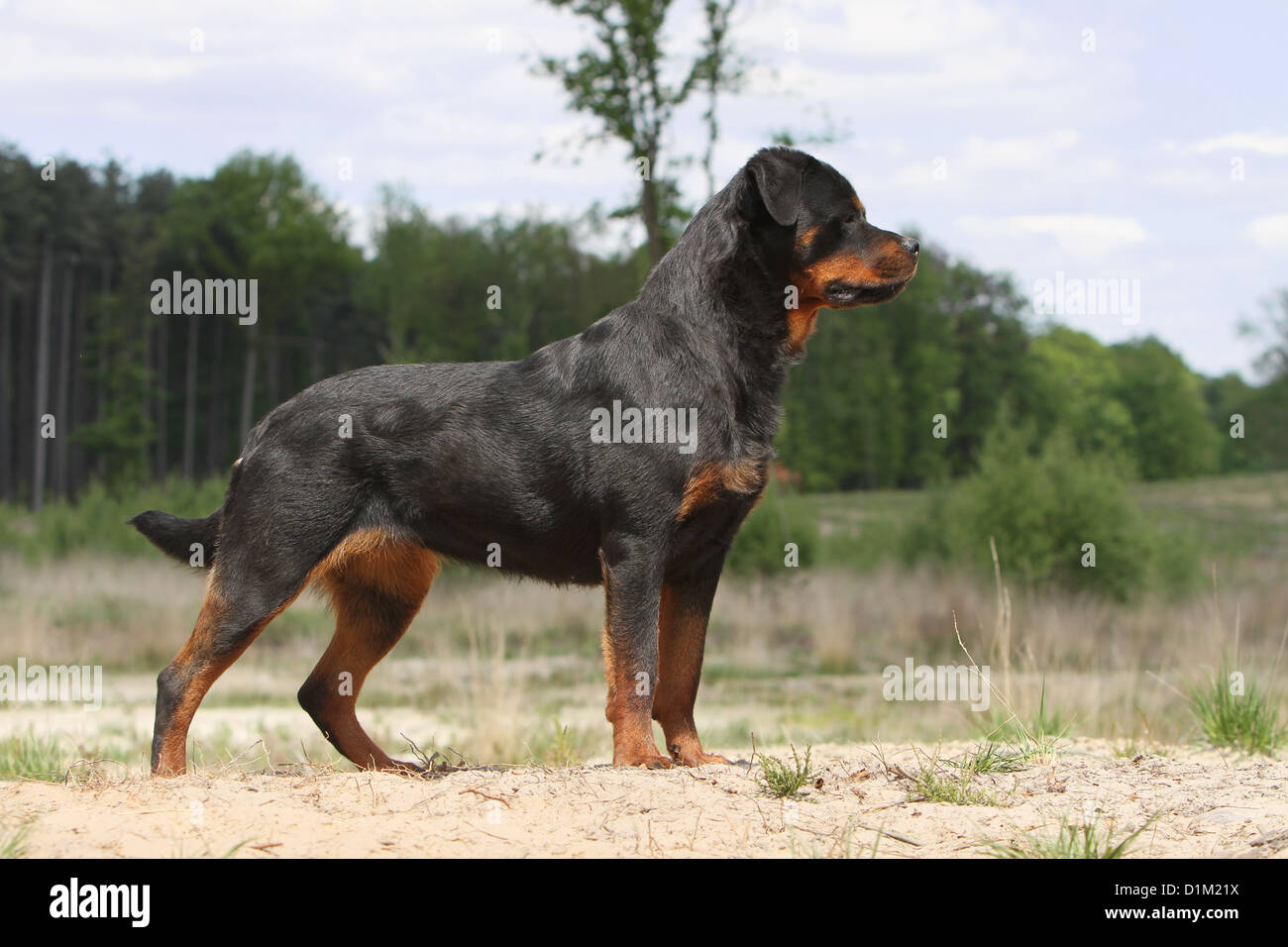 Dog Rottweiler Adult Standard Profile Stock Photo 52686422 Alamy