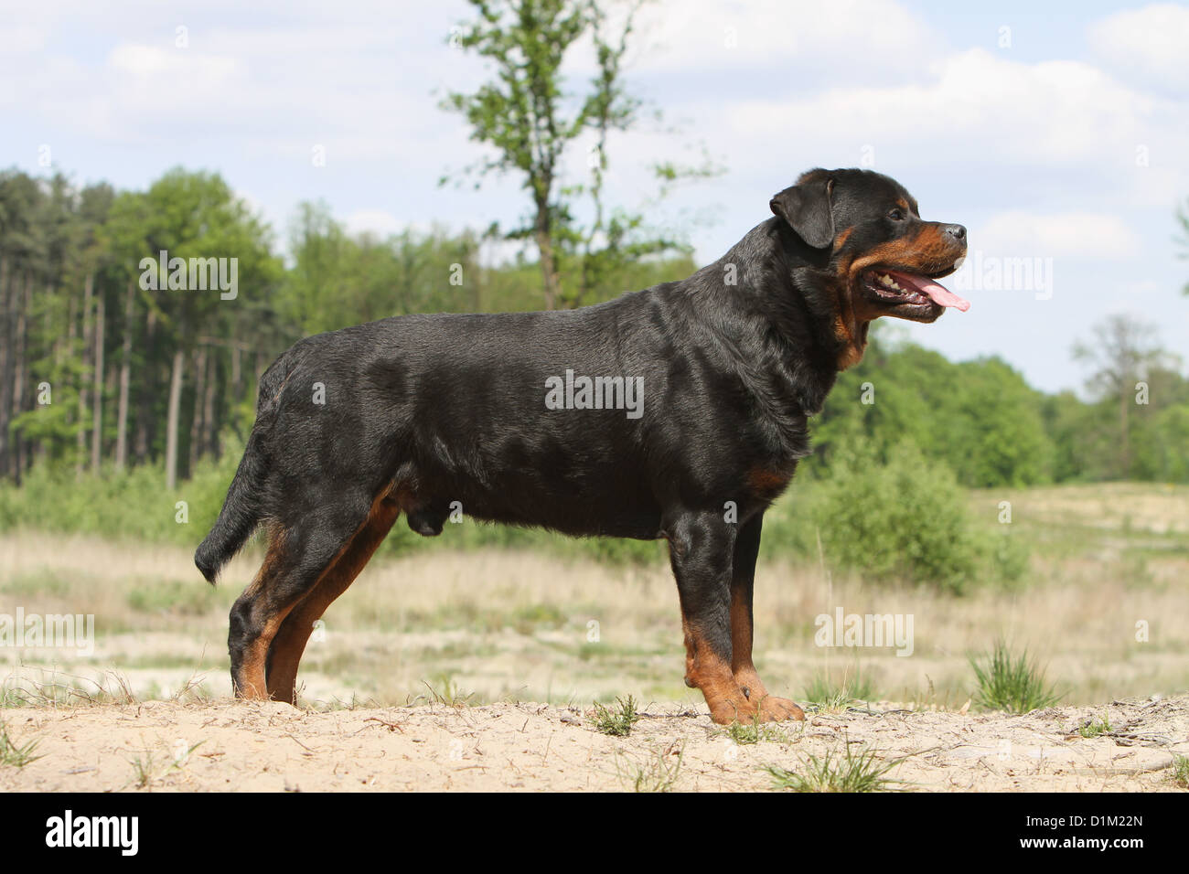 Dog Rottweiler Adult Standard Profile Stock Photo 52686445 Alamy