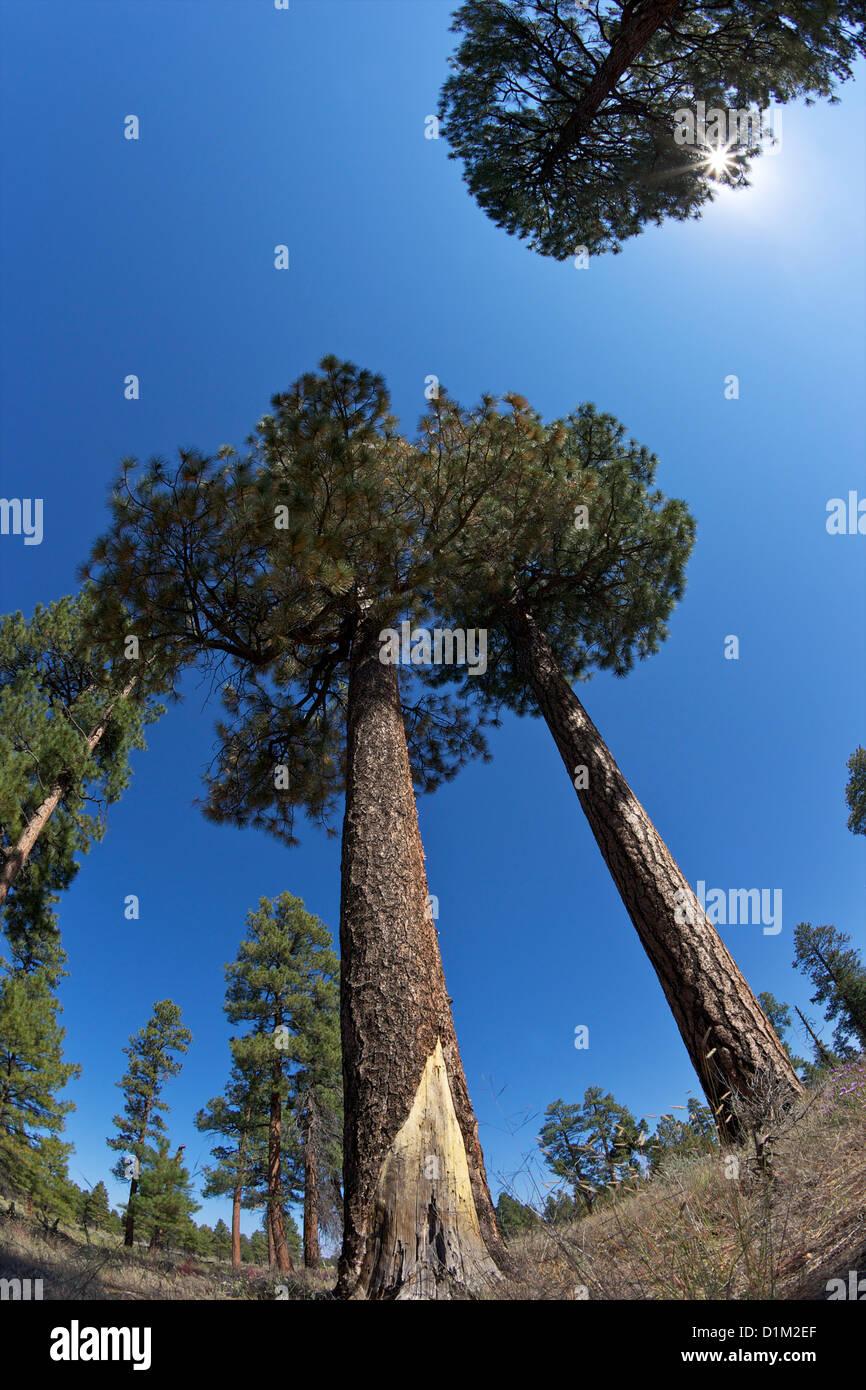 Ponderosa Pines, Pinus ponderosa, South Rim, Grand Canyon National Park, Arizona, USA - Stock Image