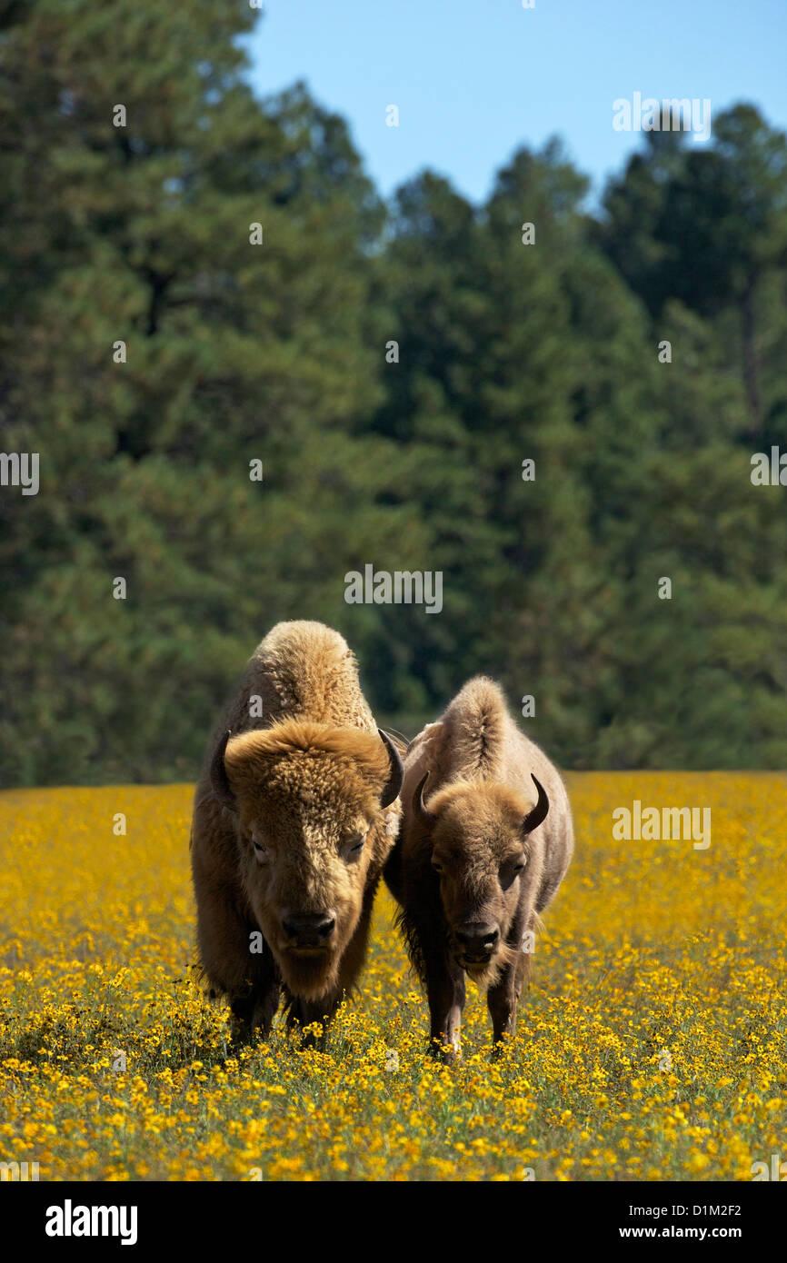 White bison or buffalo, Bearizona Wildlife Park, Williams, Arizona, USA - Stock Image