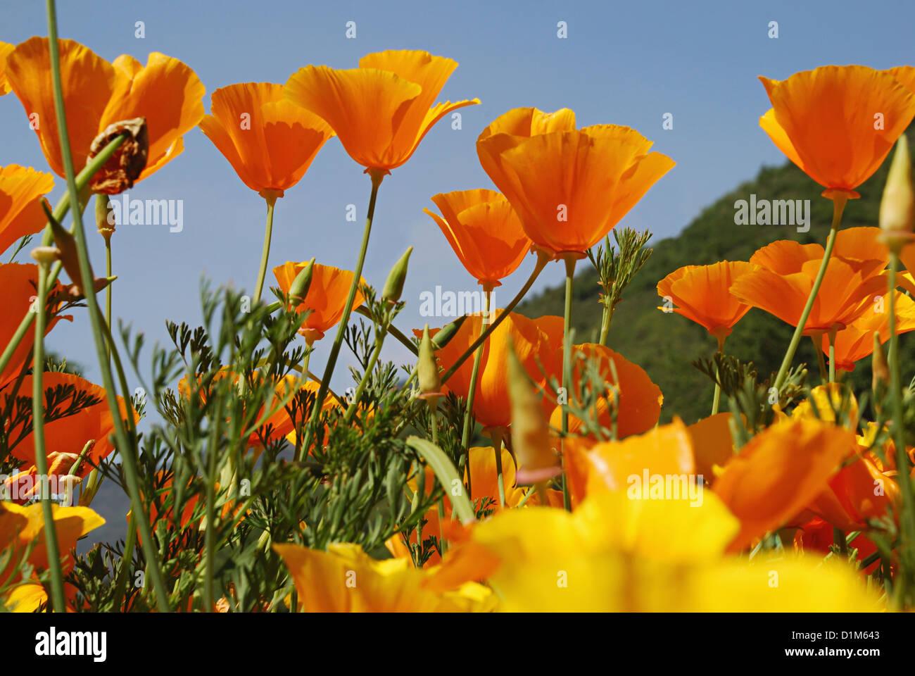 Beautiful Flowers In Orange And Yellow Colour Srinagar Jammu Stock