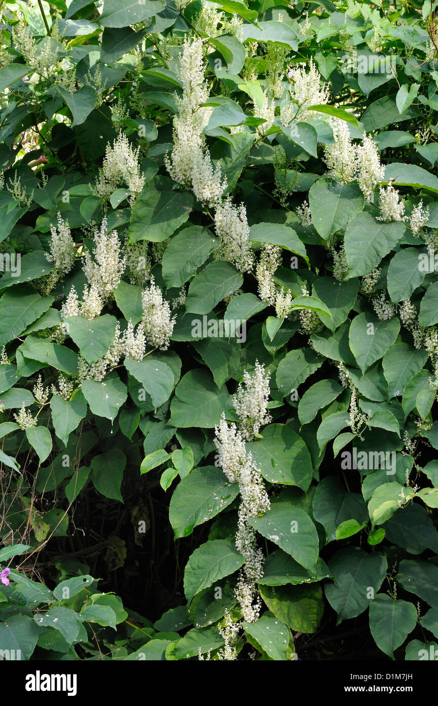 Japanese Knotweed In Your Garden: Fallopia Japonica Stock Photos & Fallopia Japonica Stock