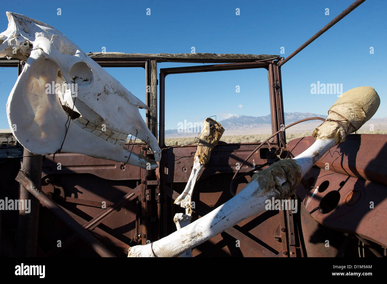 Horse skull and skeleton driving rusty car, illustrating the concept of death at the wheel, dangerous driving or - Stock Image