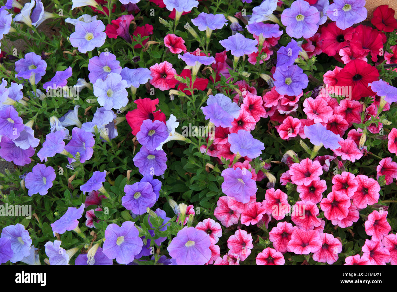 Petunia Flower Bed High Resolution Stock Photography And Images Alamy