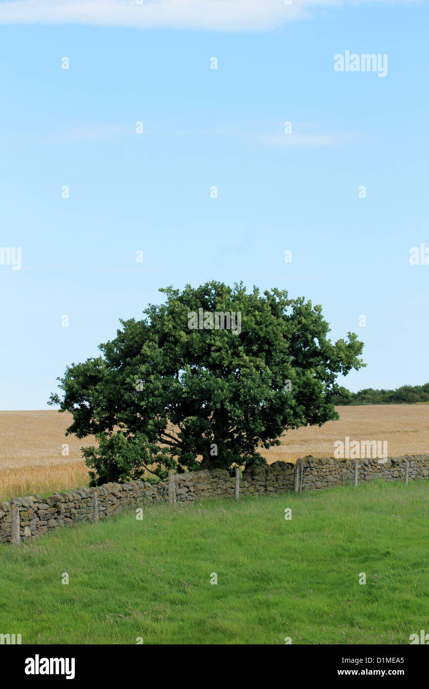 Lone tree and dry stone wall in English countryside. - Stock Image
