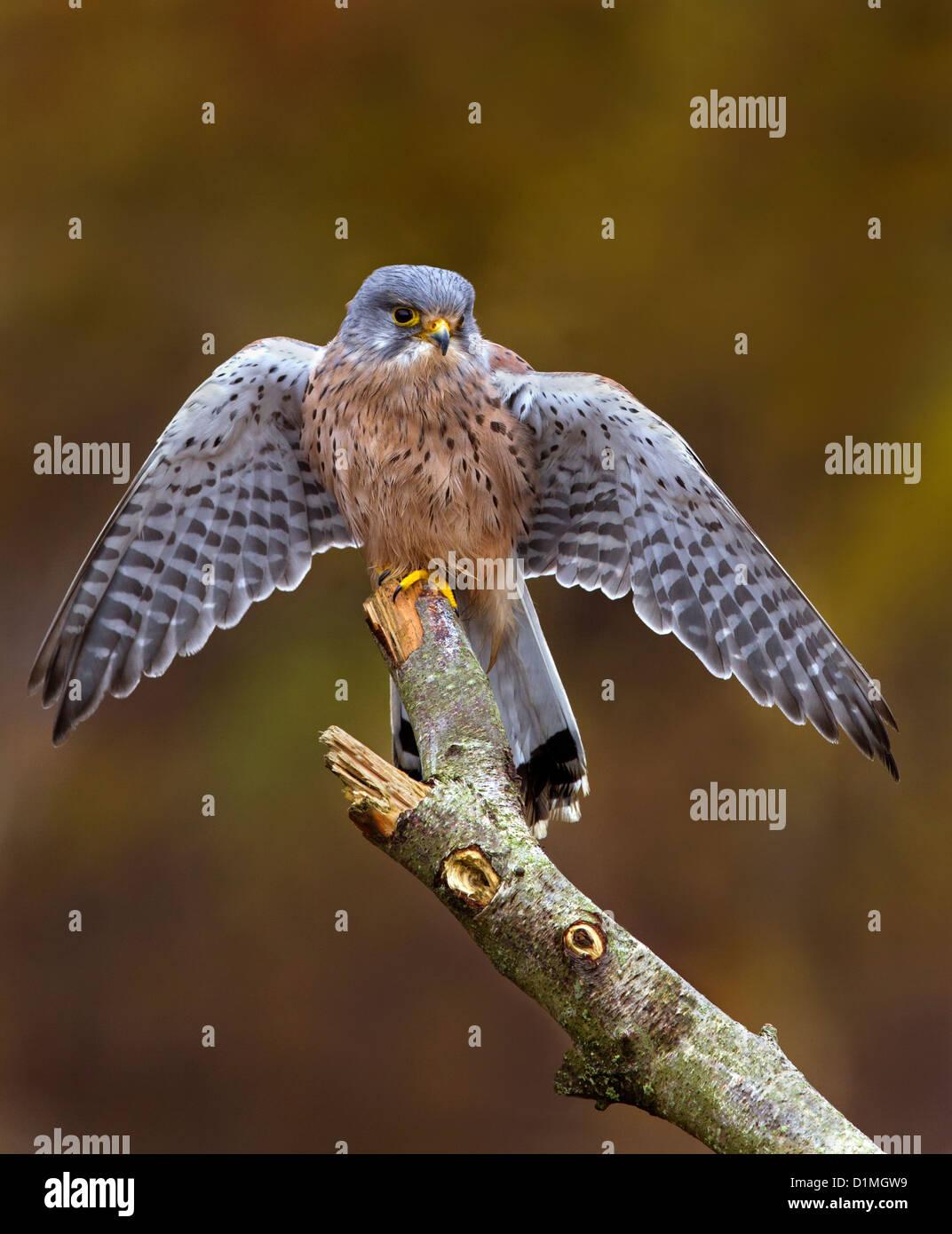 Portrait of a male Kestrel - Stock Image