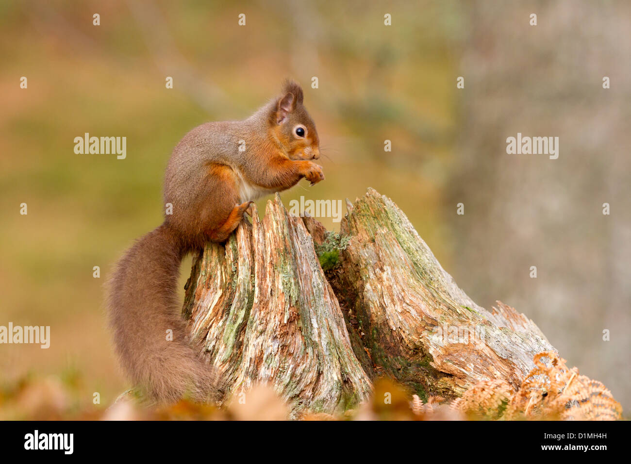Red Squirrel Sciurus vulgaris, eating a nut, on a tree stump in the Glen More forest, Scotland. - Stock Image