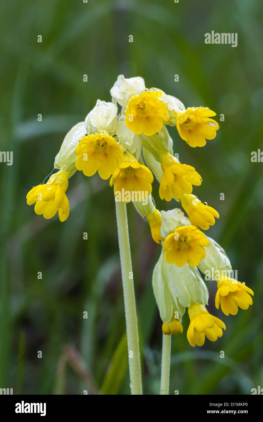Primula veris Cowslip Stock Photo