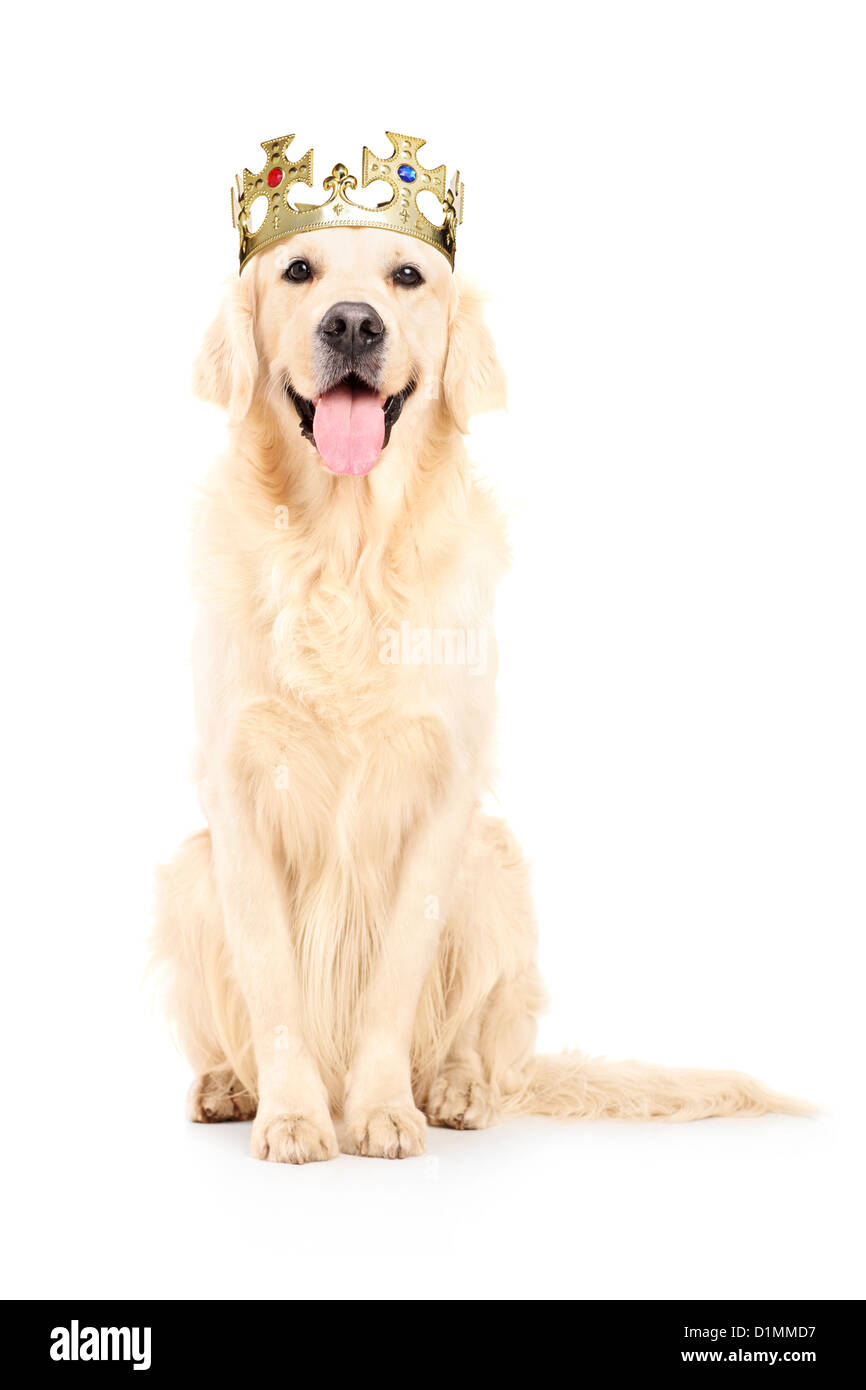 A studio shot of a labrador retriever with crown on his head isolated against white background Stock Photo