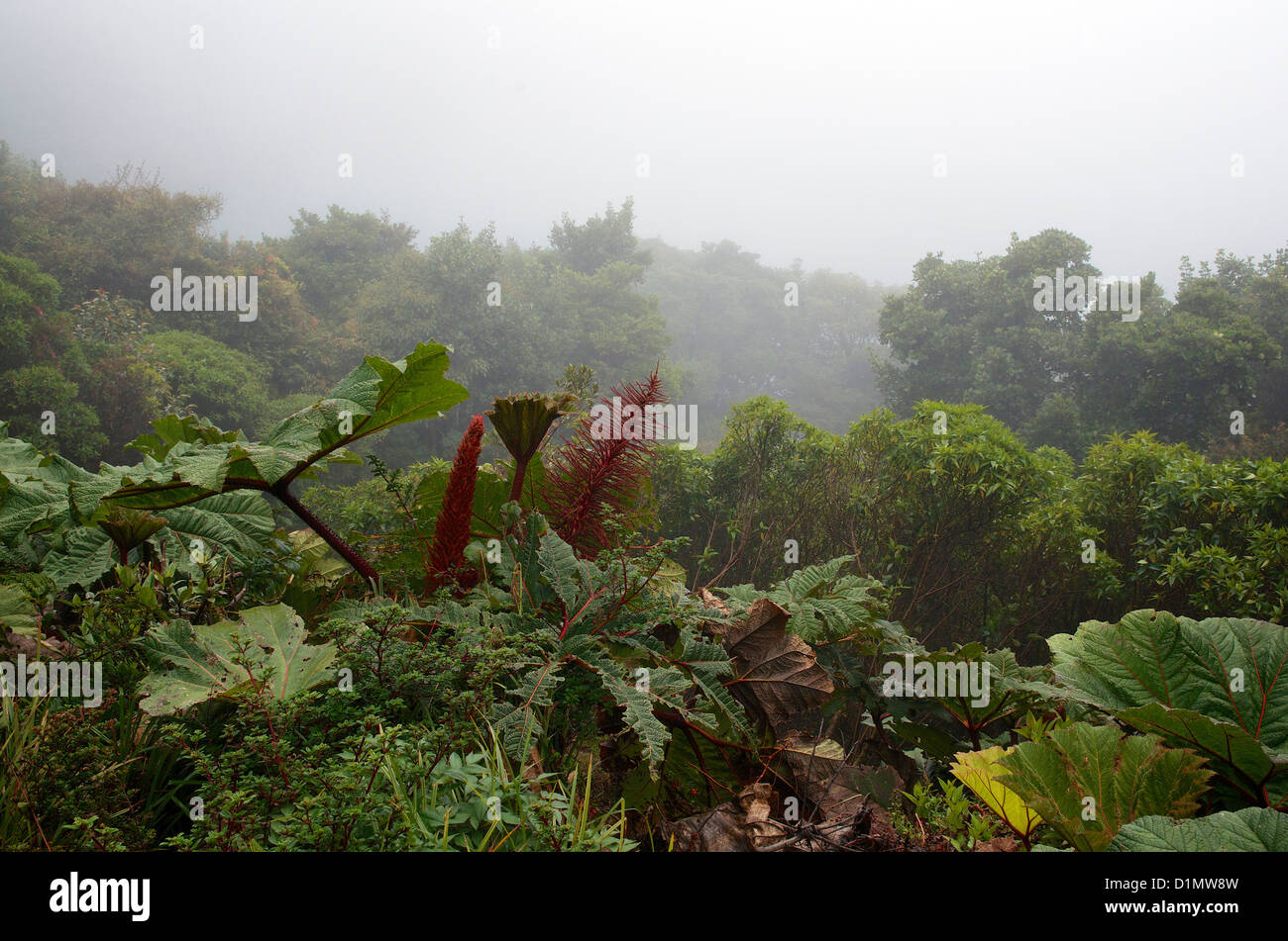 Poor Man's Umbrella (Gunnera insignis) at Poás Volcano National Park, Alajuela, Costa Rica, Central America - Stock Image