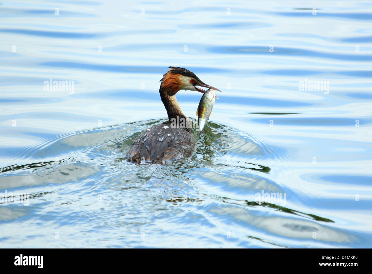 Great Crested Grebe with Breakfast - Stock Image