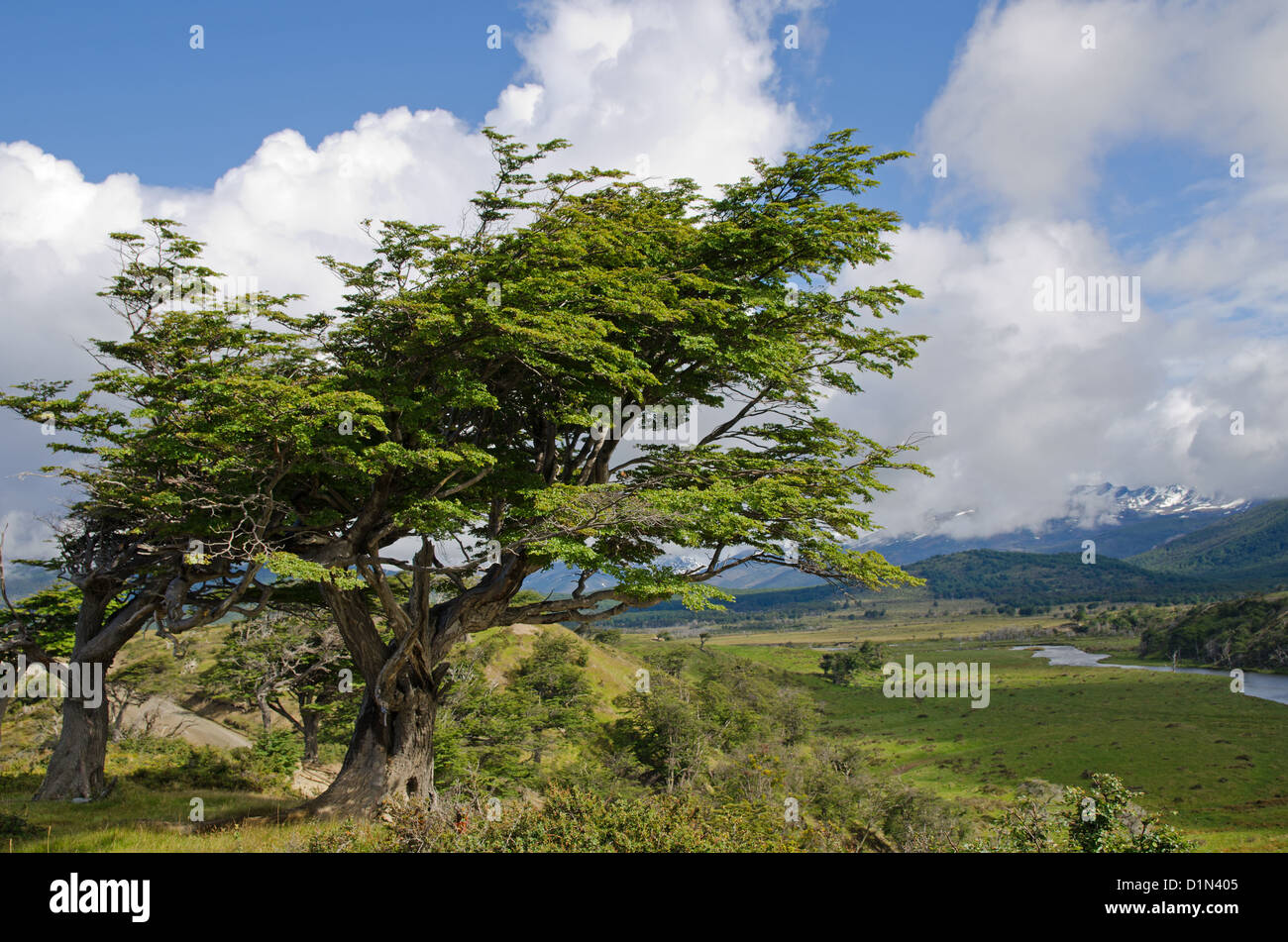 Wind-bent flag trees on a small hill in Fireland (Tierra Del Fuego), Patagonia, Argentina - Stock Image