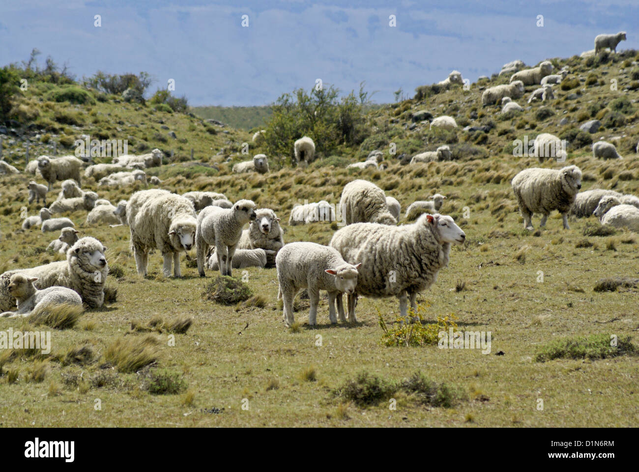 Sheep grazing in Patagonia, Argentina - Stock Image