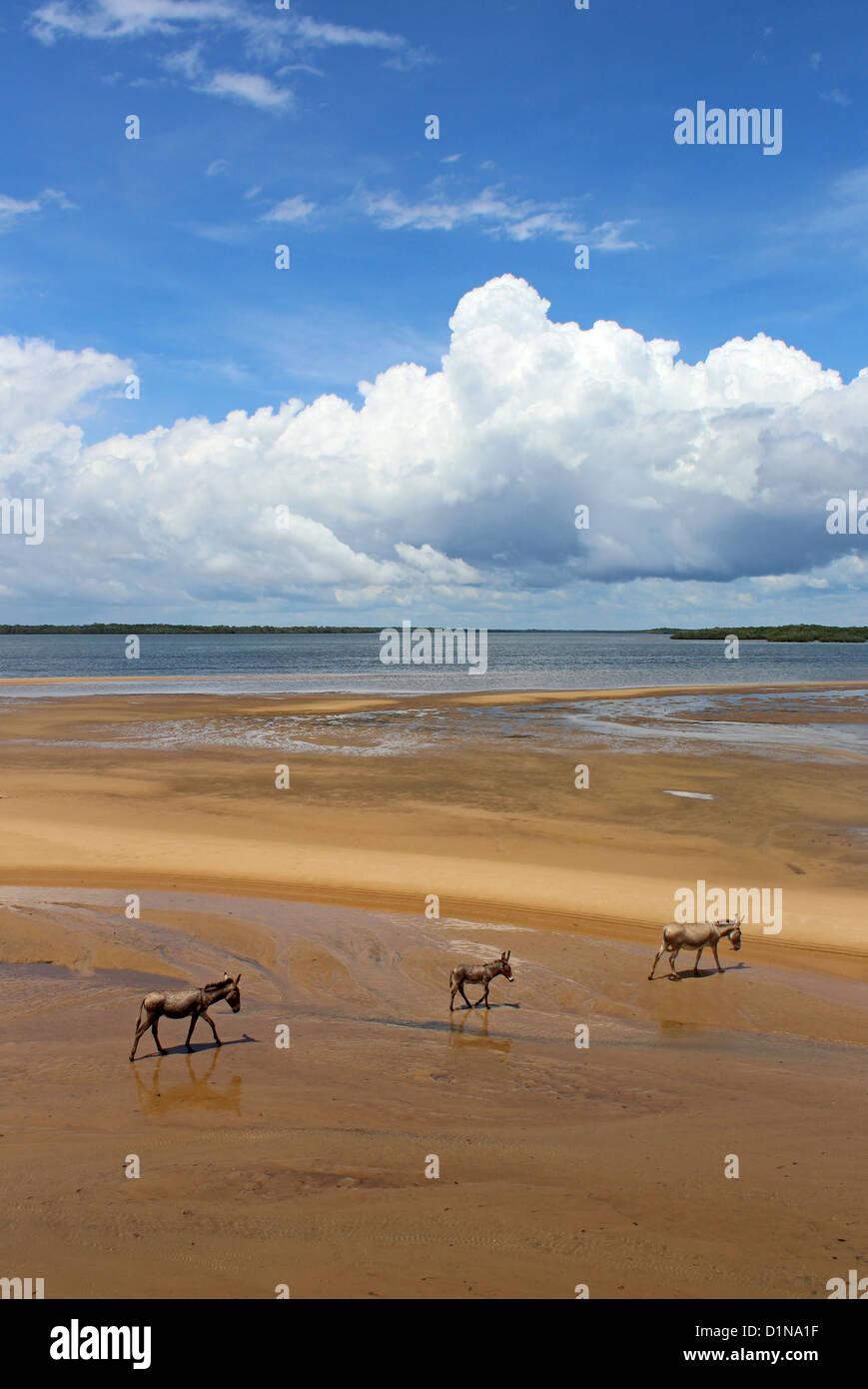 Donkey family on the beach, Lamu Island, Kenya, East Africa Stock Photo