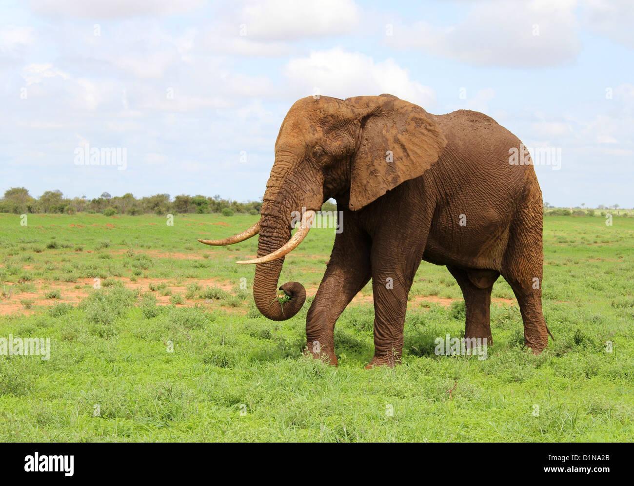Elephant, African Elephant, Tsavo East National Park, Kenya, Africa - Stock Image