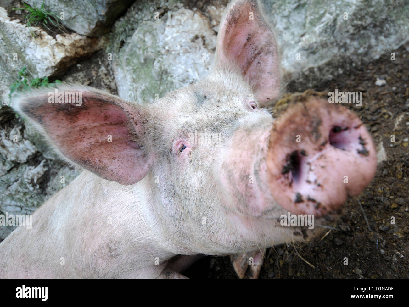 Pig's snout - Stock Image