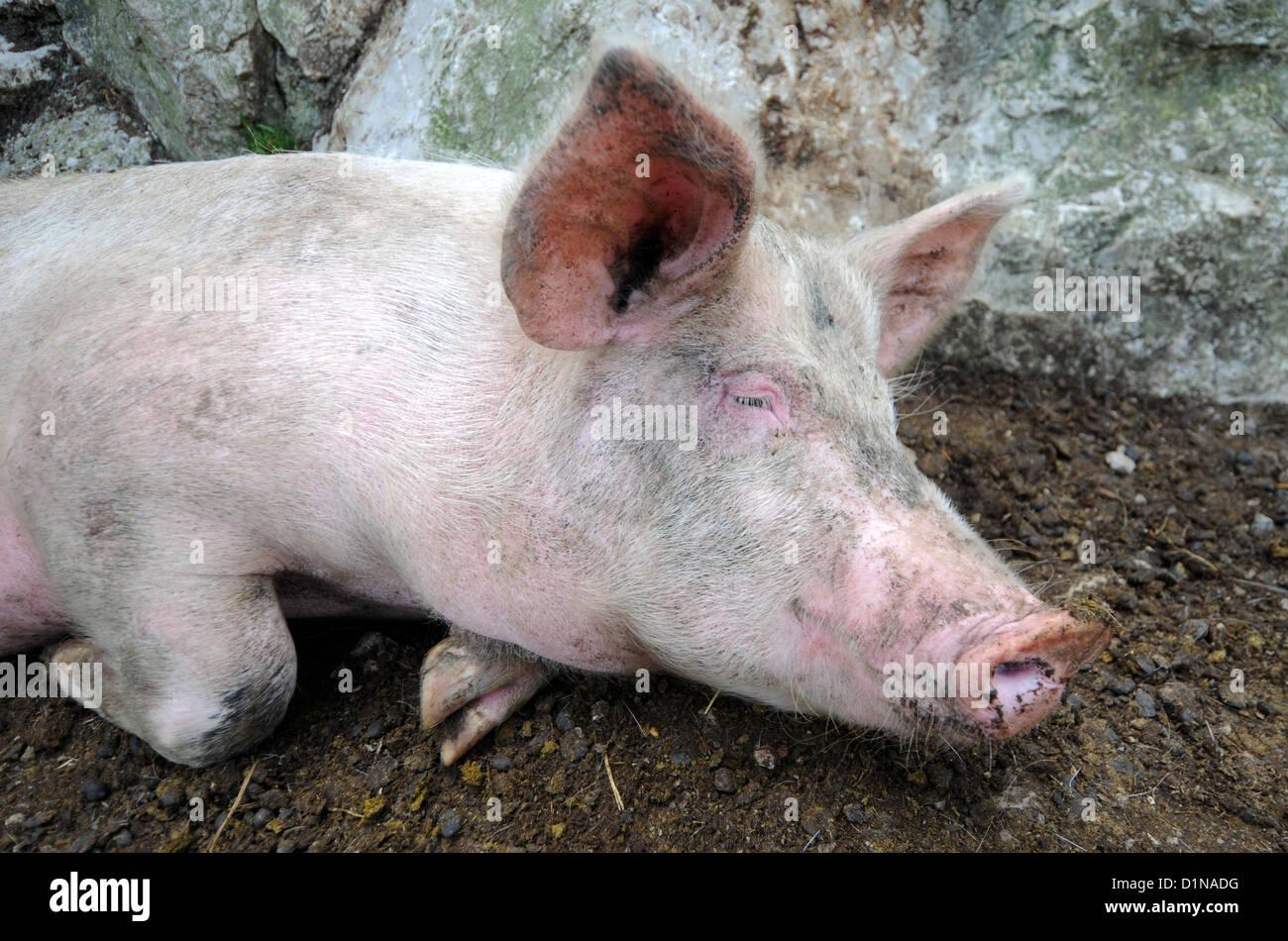 Pig, sleeping pig, pig asleep - Stock Image