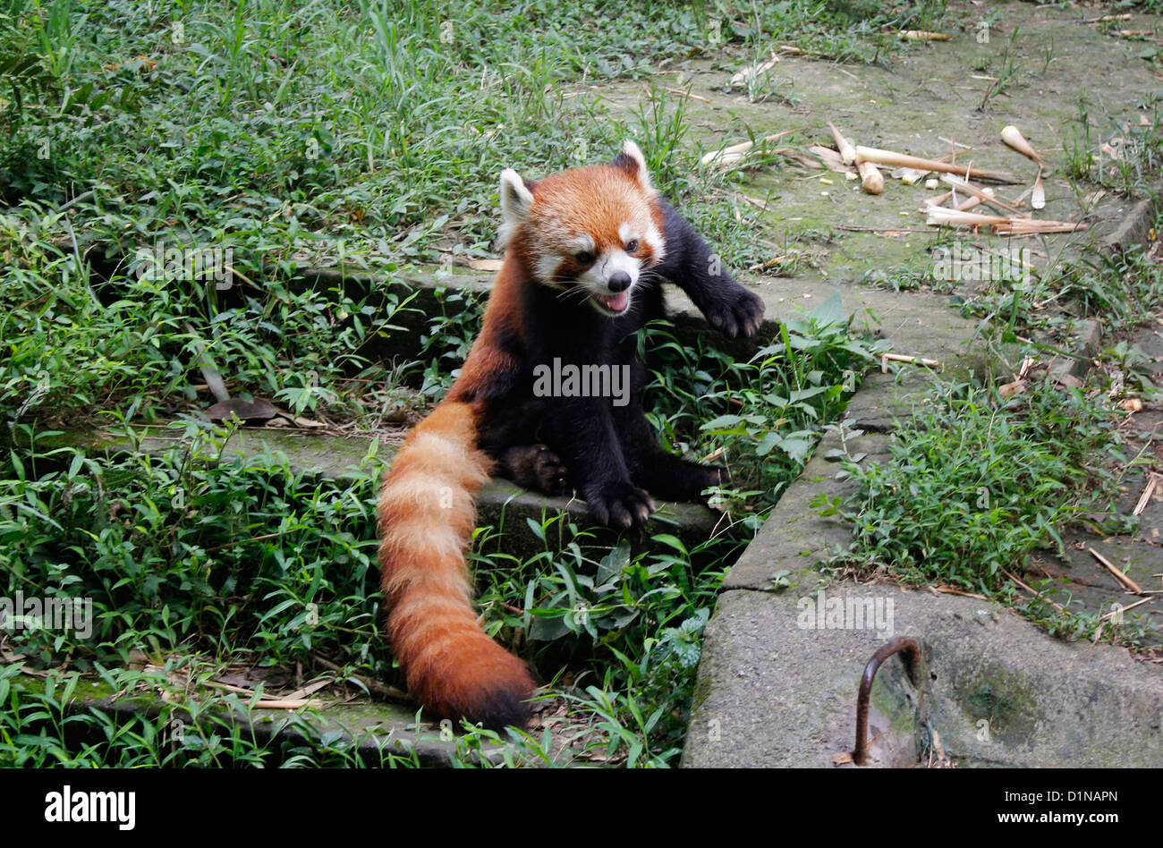 red panda also called lesser panda and red cat-bear, arboreal mammal  chinese panda Chengdu Panda Breeding and research - Stock Image