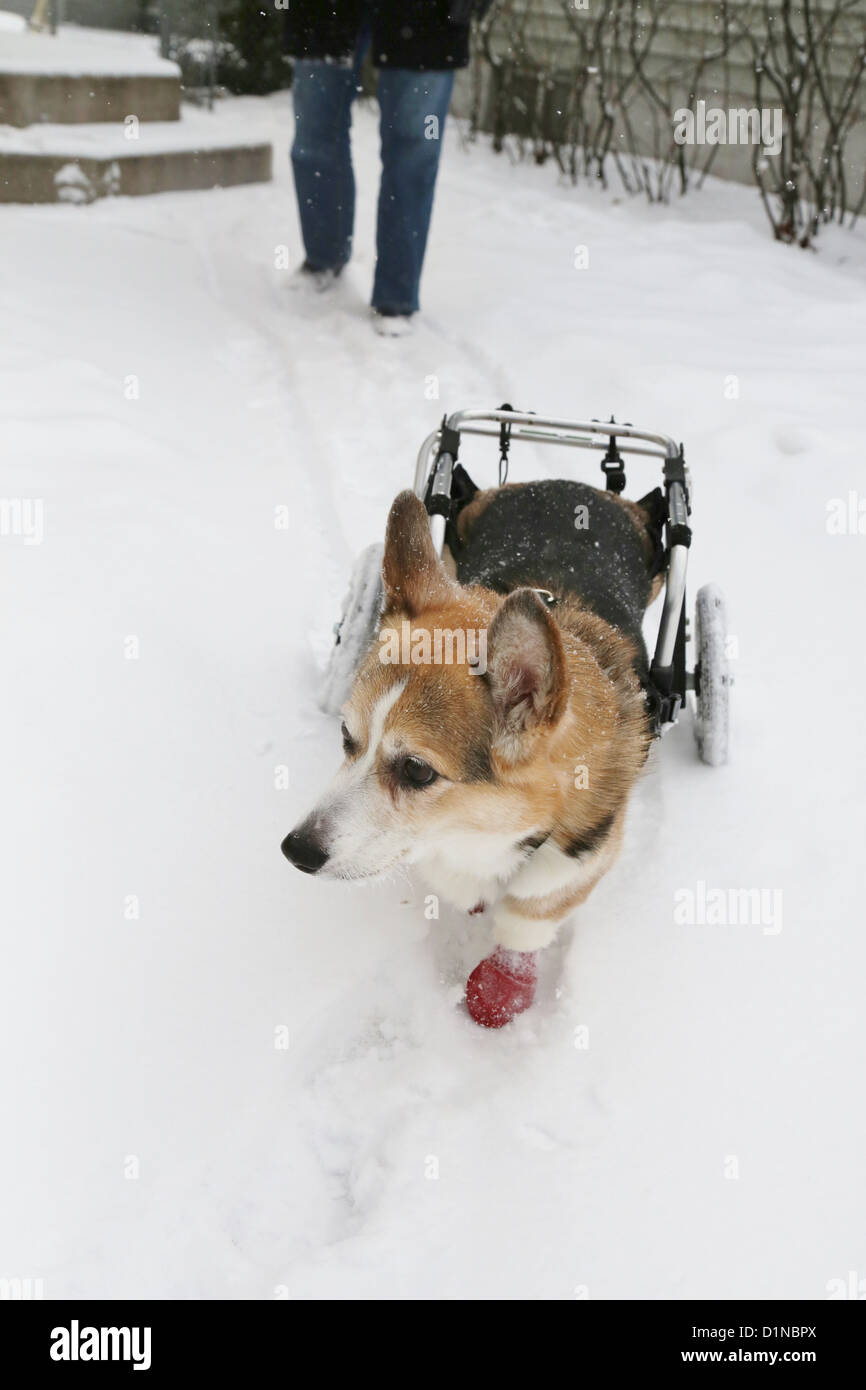 A disabled Corgi dog walking with a cart in the snow. - Stock Image