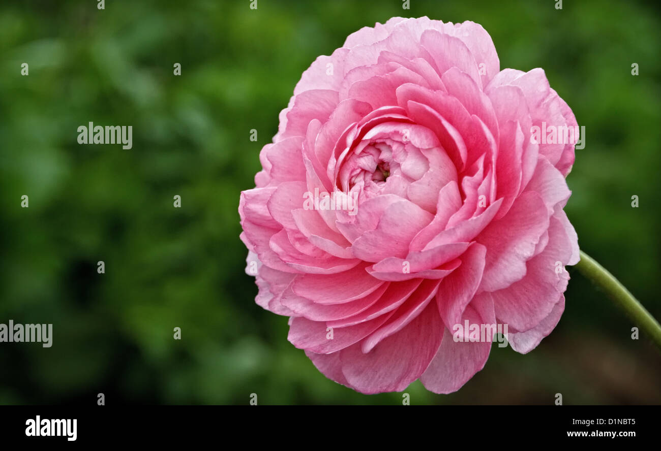 One  pink ranunculus blossom stands out against a field of green. - Stock Image