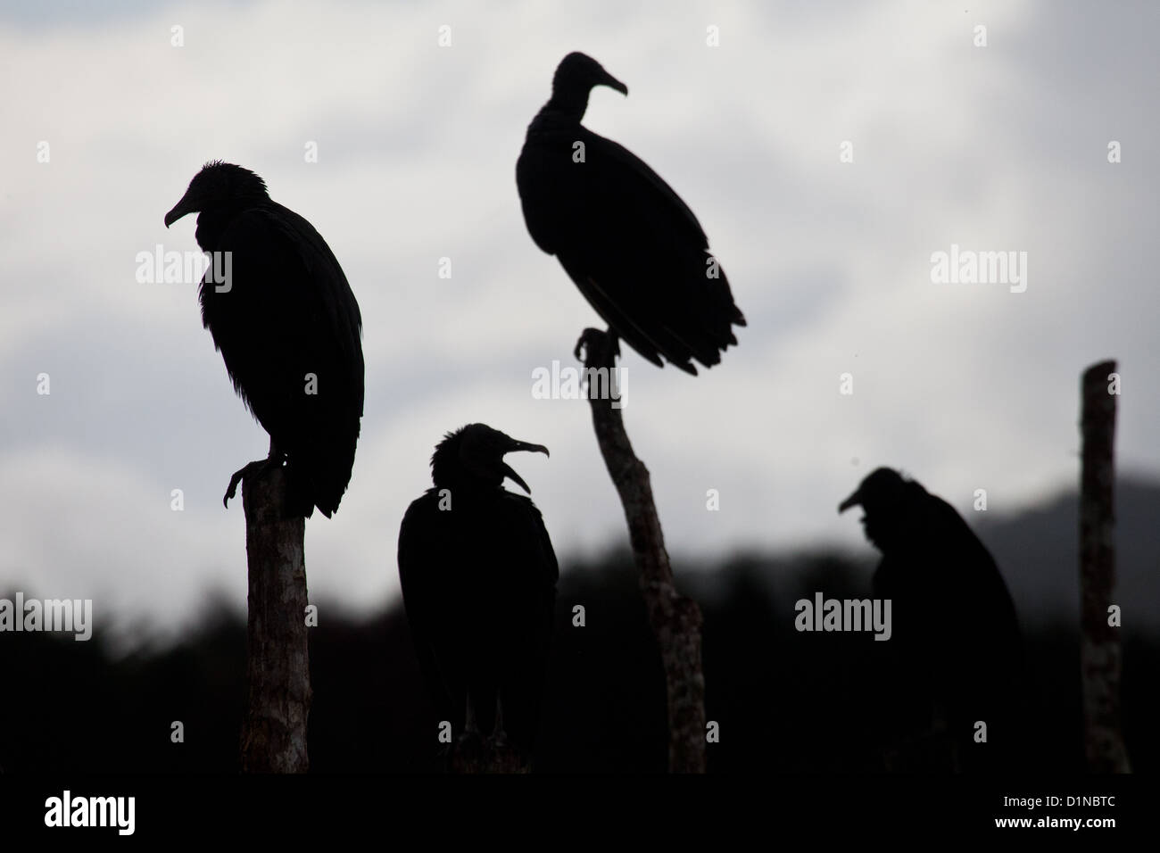 Black Vulture, sci.name; Coragyps atratus, sitting on a fence in the farmlands near Volcan in Chiriqui province, - Stock Image