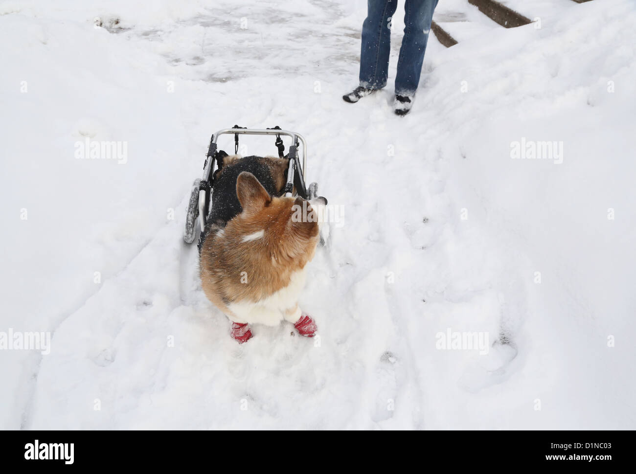 A disabled dog in the snow looks back at his owner. - Stock Image