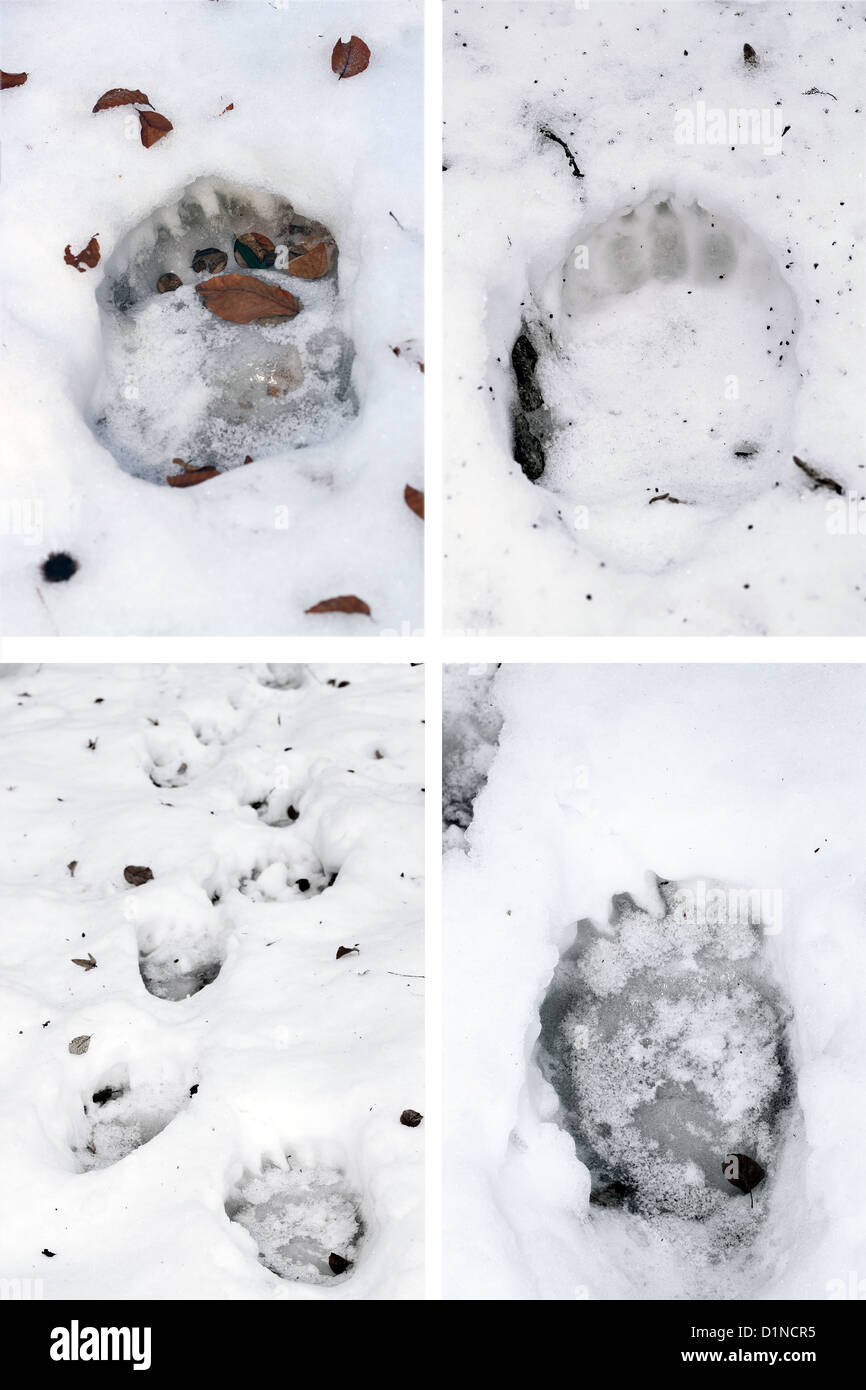 collection of brown bear ( ursus arctos ) tracks in snow - Stock Image