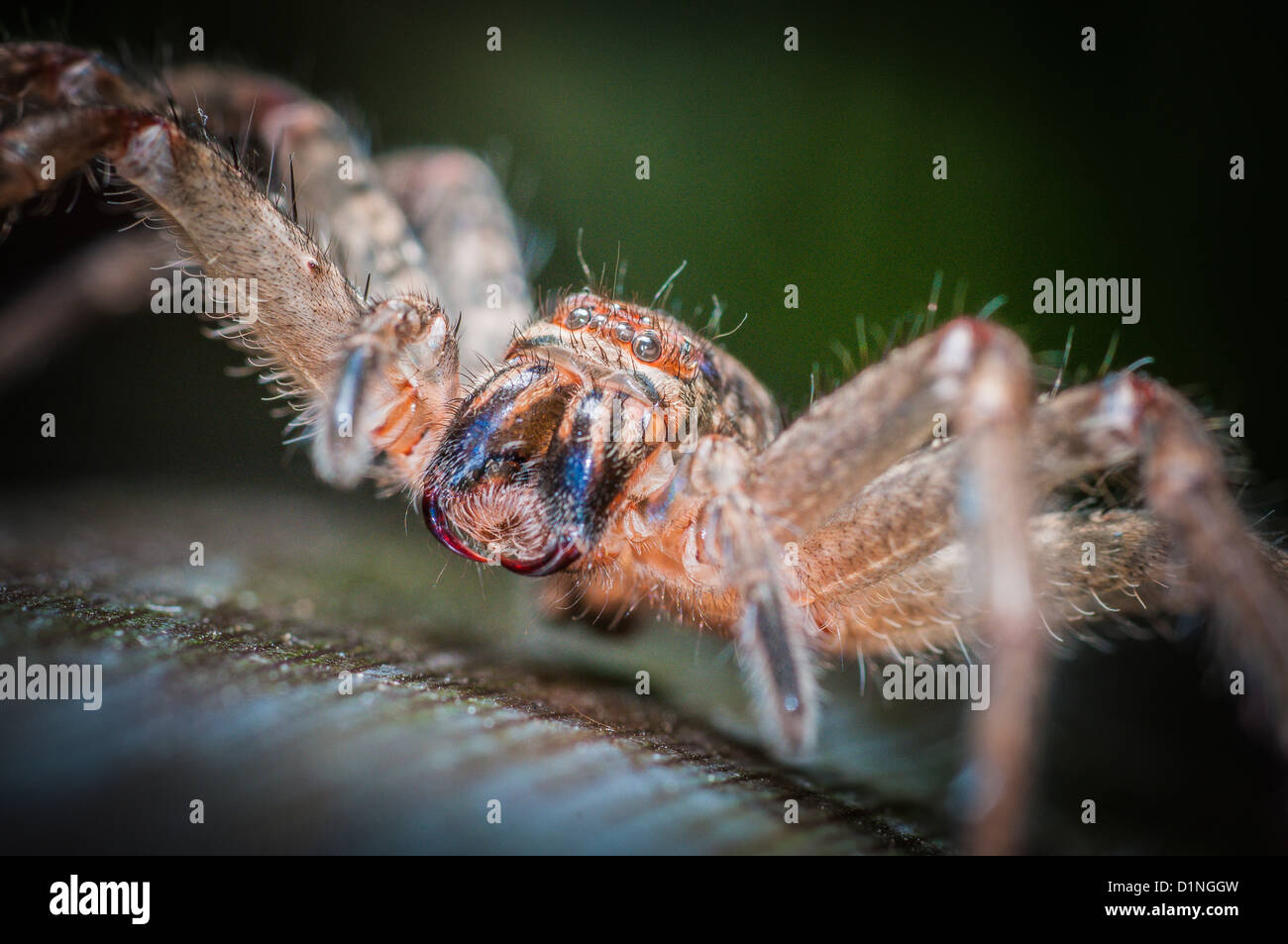 Badge Spider or Shield Huntsman, Queensland, Australia - Stock Image