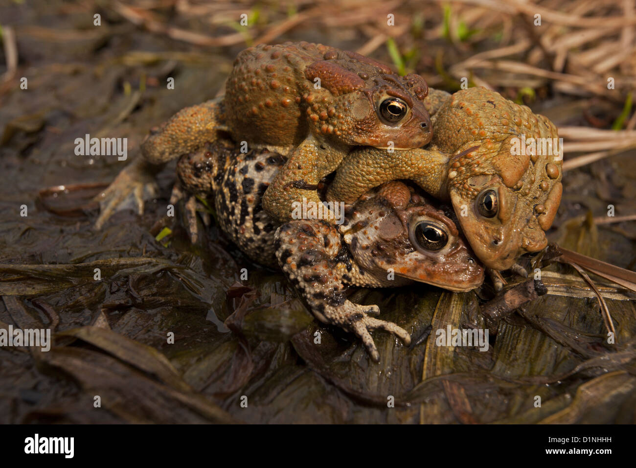 American toad , Bufo americanus , New York , toad ball, males attempting to mate with female, - Stock Image