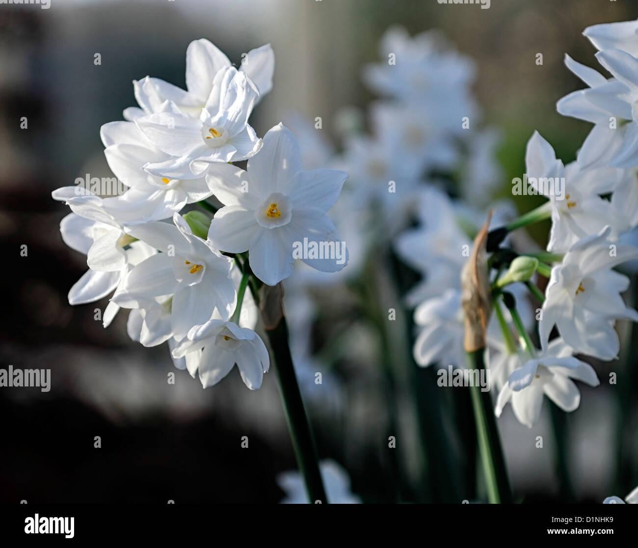 Narcissus Paperwhite Ziva Stock Photos Narcissus Paperwhite Ziva
