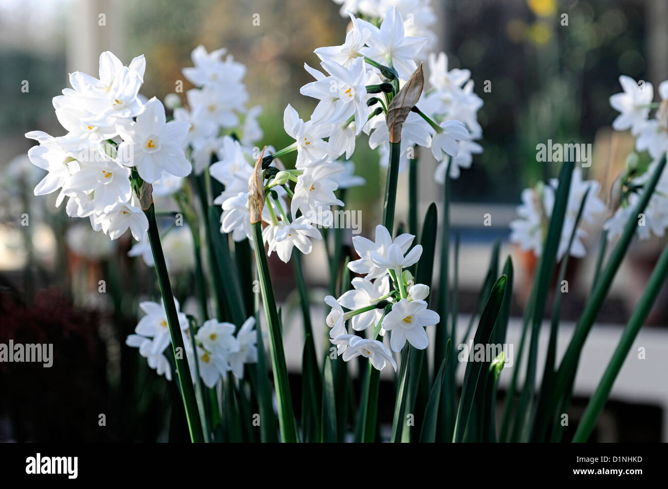 White flowering bulbs spring choice image flower decoration ideas narcissus ziva paperwhites plants white flowers flowering blooms narcissus ziva paperwhites plants white flowers flowering blooms mightylinksfo
