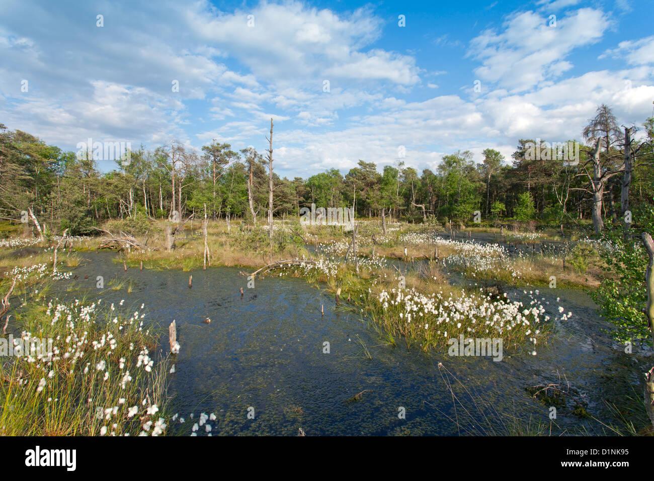 Blooming common cotton grass / Eriophorum angustifolium Stock Photo
